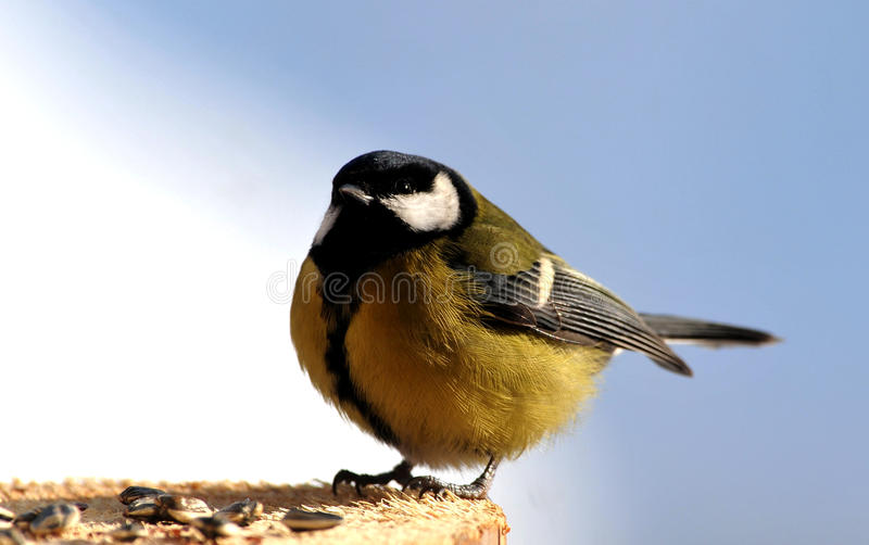 Download Tit bird stock image. Image of feedbox, copyspace, isolated - 23810727