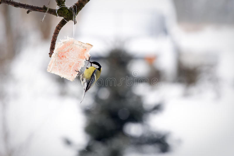 Download Tit bird feeding stock photo. Image of cold, care, season - 28872914