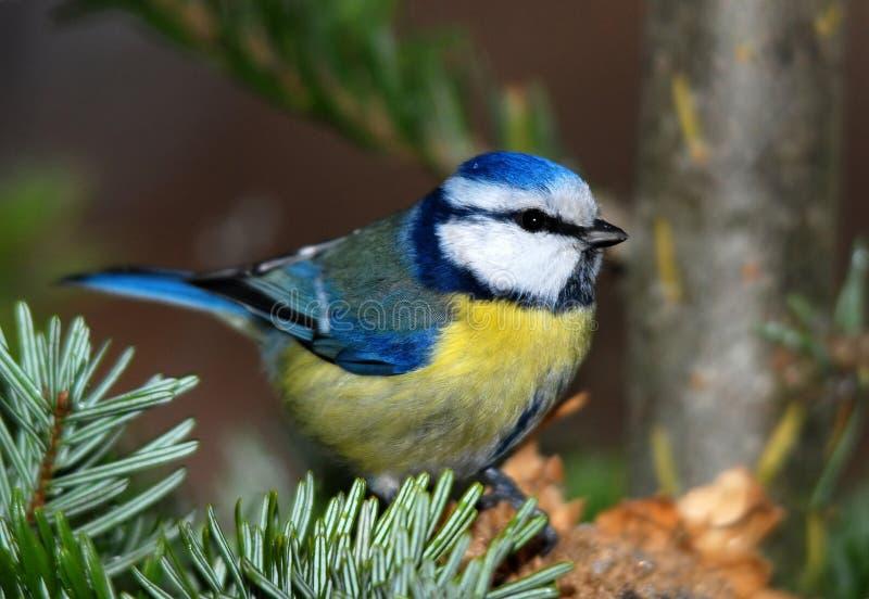 Tit blu fotografia stock libera da diritti