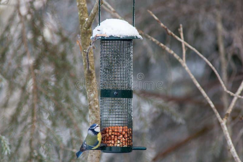 Tit blu ad un'alimentazione dell'uccello fotografia stock libera da diritti