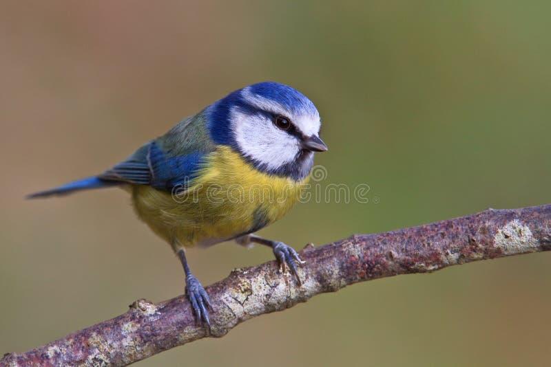 Tit blu, caeruleus del Parus immagine stock