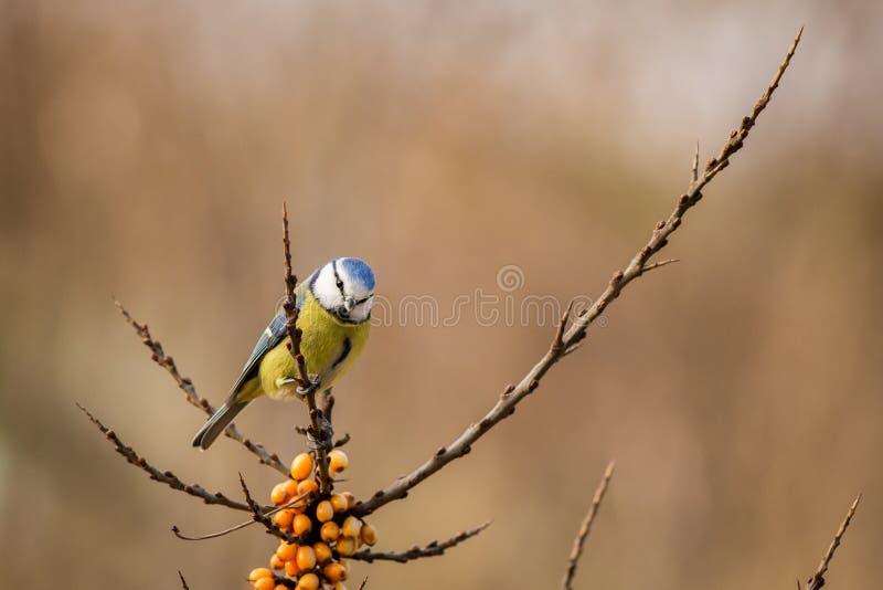 Tit blu Cyanistes Caeruleus fotografia stock libera da diritti