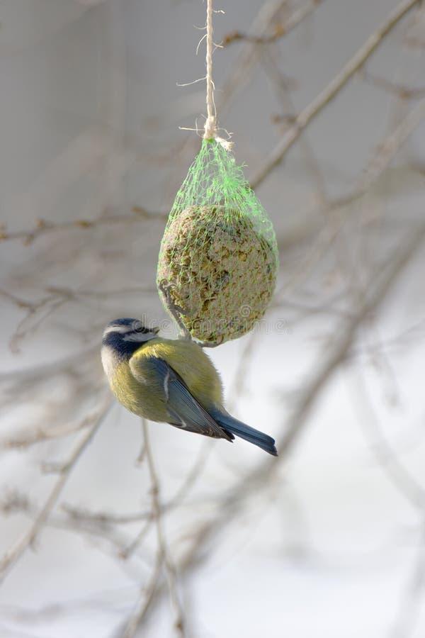 Tit blu in inverno immagini stock