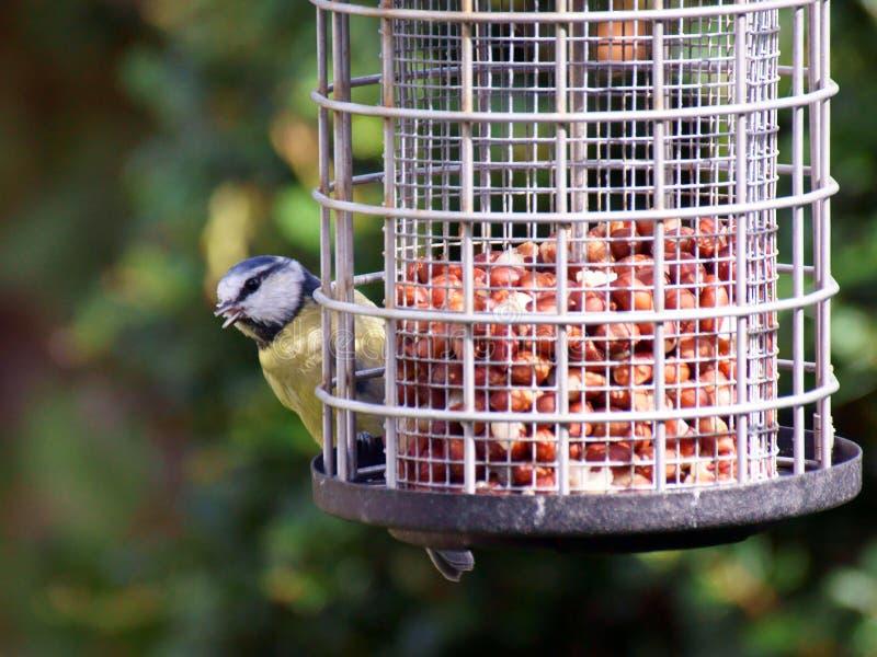 Tit blu sull'alimentatore dell'uccello fotografia stock libera da diritti