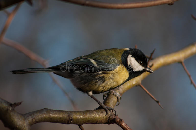 Download Tit on a branch stock image. Image of small, forest, bird - 83701243
