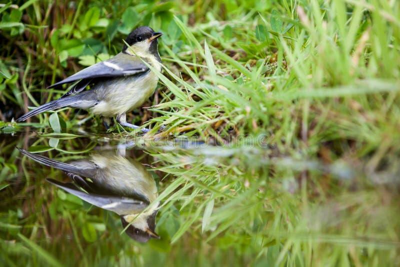 Download Tit del carbón foto de archivo. Imagen de nadie, pájaro - 41905636