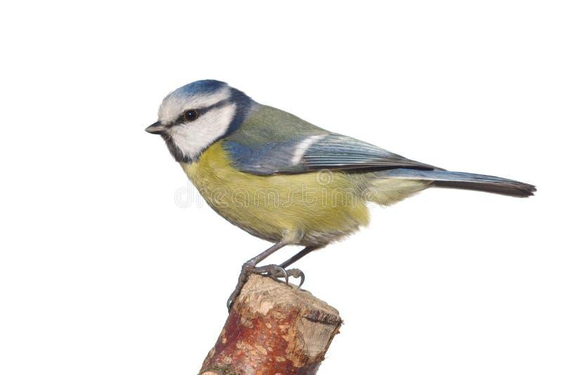 Tit del pájaro en rama imágenes de archivo libres de regalías