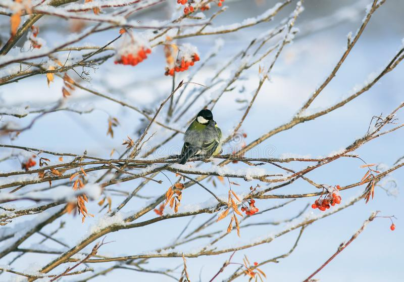 Tit del pájaro que se sienta en ramas del serbal con los racimos maduros jugosos de bayas rojas fotos de archivo libres de regalías