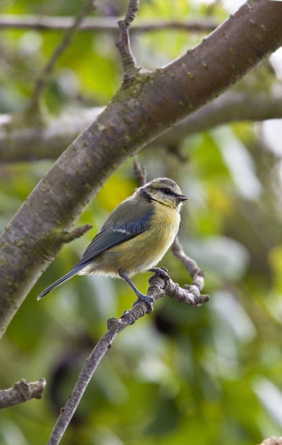 tit för fågelblueträdgård royaltyfria bilder