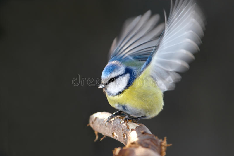 Tit flaps wings royalty free stock photo