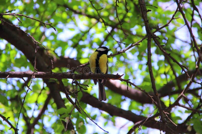 Download Tit ptak obraz stock. Obraz złożonej z liść, kolor, piękny - 53790949
