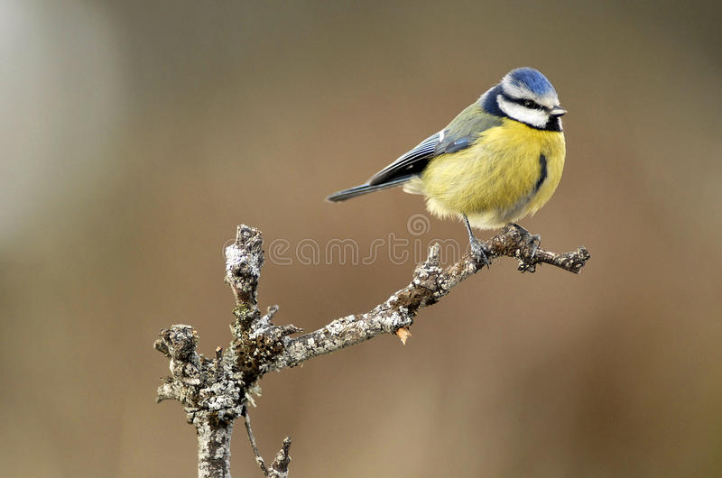Download A tit on a twig stock image. Image of animals, nature - 23628789