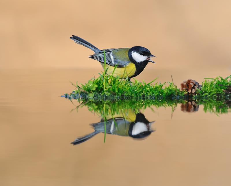 Tit in the water. royalty free stock image