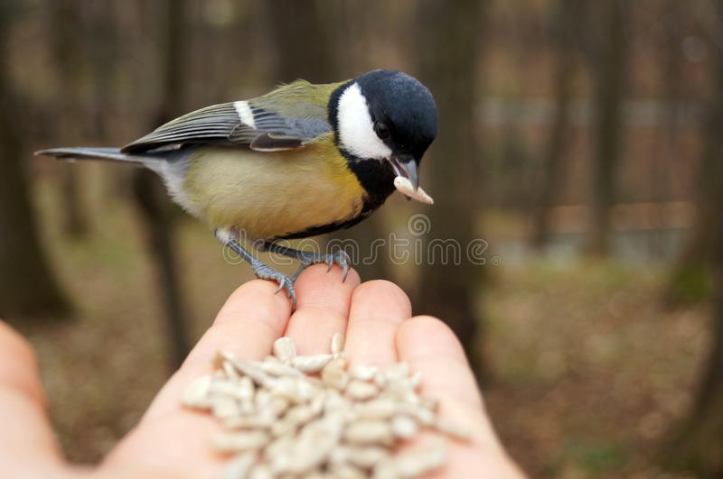 Tit with yellow black and white feathers. Sitting on palm royalty free stock photo