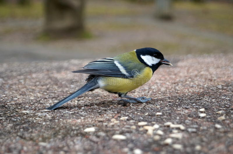 Tit with yellow black and white feathers. Sitting on a stone table and eats sunflower seeds stock images