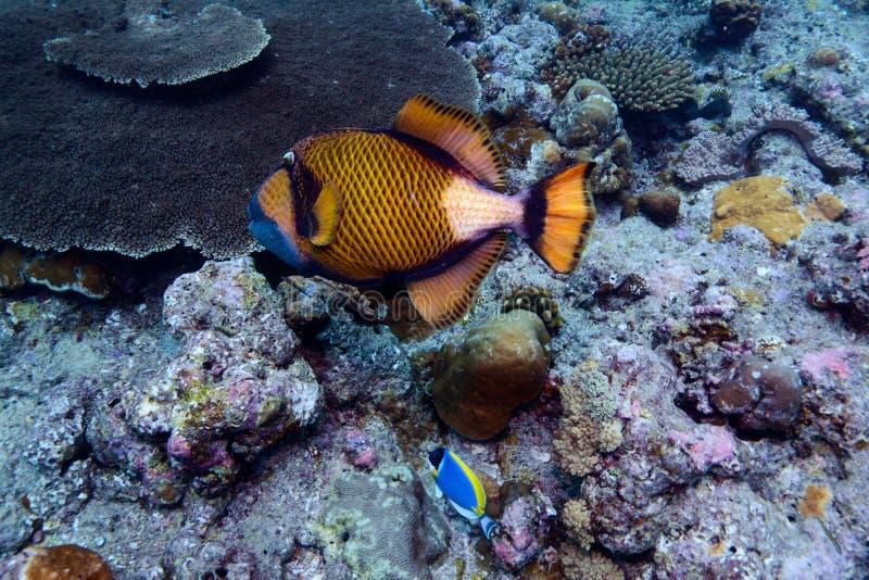 Download Titan Trigger Fish, Indian Ocean Underwater Stock Photo - Image: 20899262