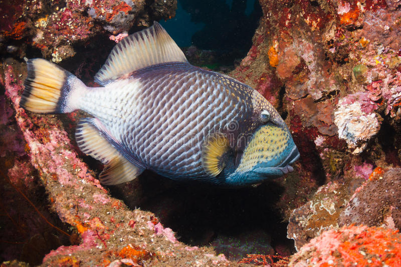 Download Titan Triggerfish Royalty Free Stock Images - Image: 24241969
