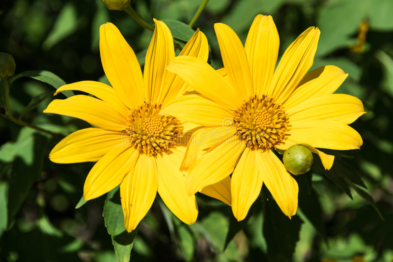 Tithonia Diversifolia 库存照片