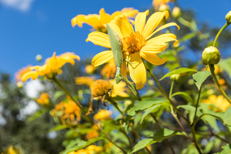 Tithonia Diversifolia royalty-vrije stock fotografie