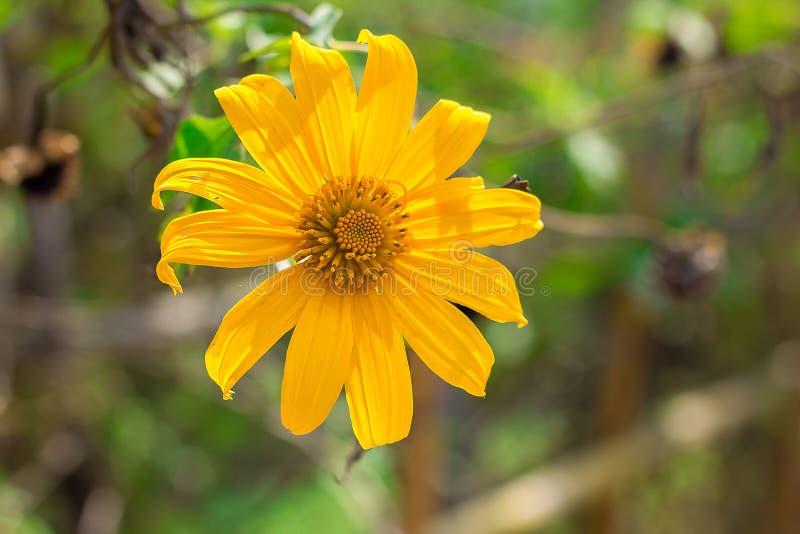 Tithoniadiversifolia is bloeiend met gele kleur zoals zonnebloem royalty-vrije stock foto