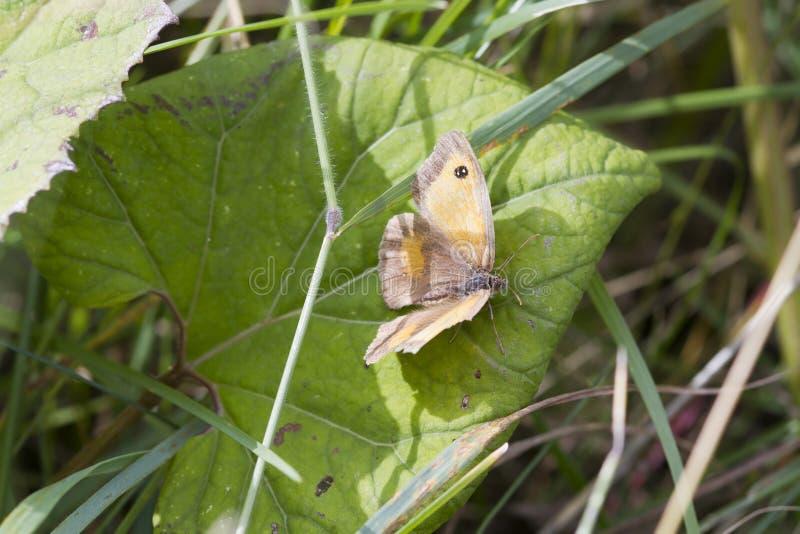 tithonus pyronia привратника бабочки стоковое фото