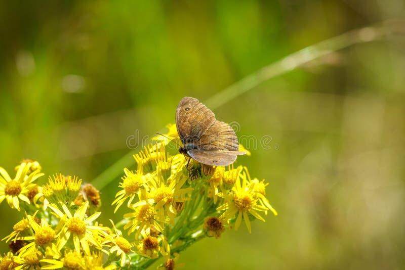 Tithonus van Pyronia van de portiersvlinder stock foto