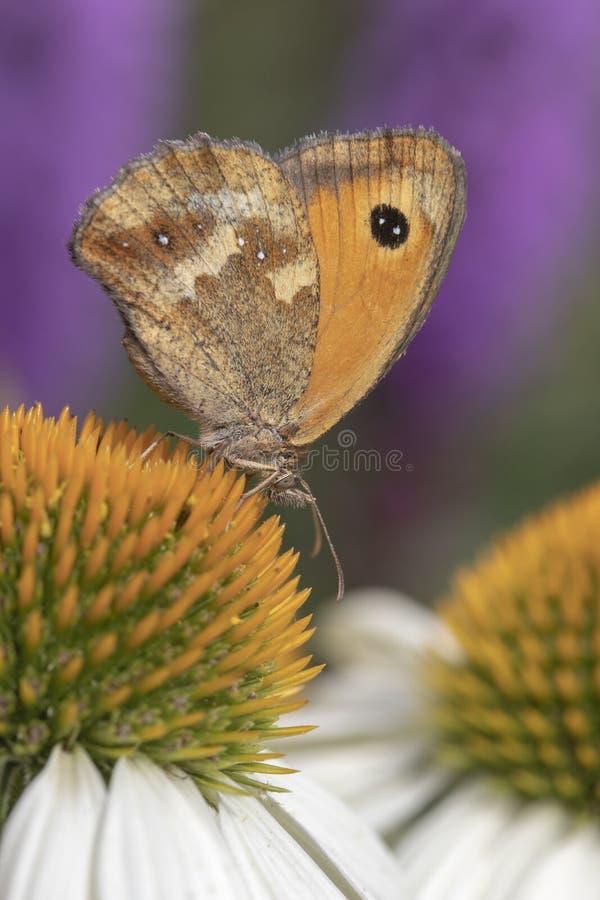 """Tithonus van Pyronia van de portiersvlinder op Echinacea-purpurea """"Witte Zwaan royalty-vrije stock fotografie"""
