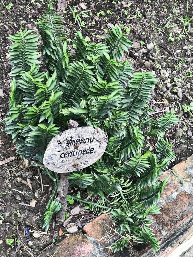 Tithymaloides del euforbio o tithymaloides del Pedilanthus o planta del zigzag o espina dorsal del ` s del diablo o planta del ca fotografía de archivo