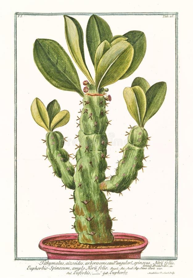Tithymalus euphorbium arborescens angulari植物的老例证 库存照片
