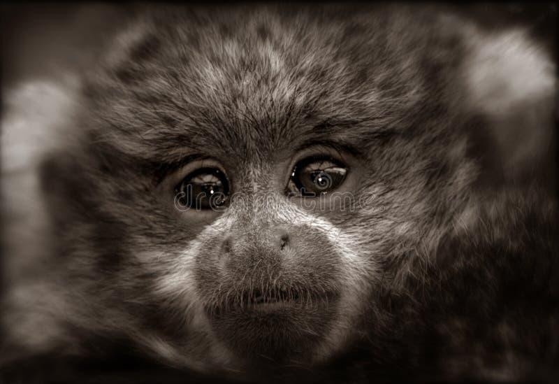 Titi Monkey Baby in Sepia stock photos