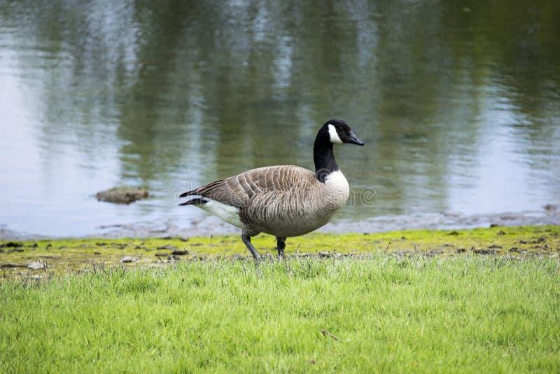 Titlow公园鸭子 免版税库存图片