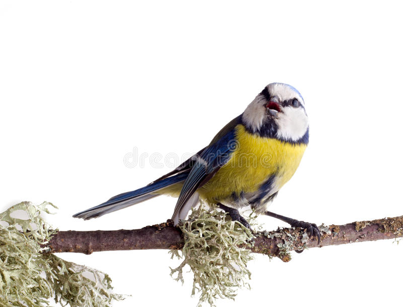 Download Titmouse  12 stock photo. Image of feather, forest, chickadees - 24240052