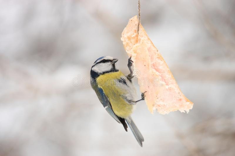 Titmouse image stock