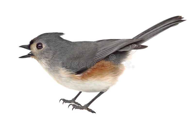 Download Titmouse adornado isolado foto de stock. Imagem de avian - 29845642