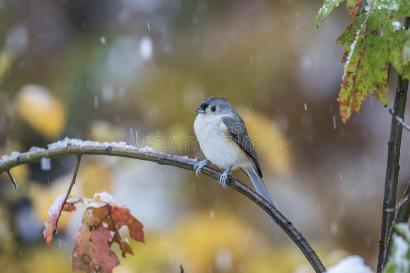 Titmouse adornado em uma tempestade da neve em outubro fotos de stock