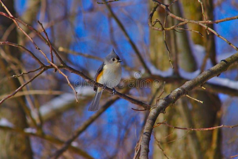 Titmouse adornado que empoleira-se em uma árvore fotografia de stock