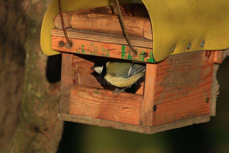 Titmouse in bird table. Bluebird in a bird feeder in the park royalty free stock photo