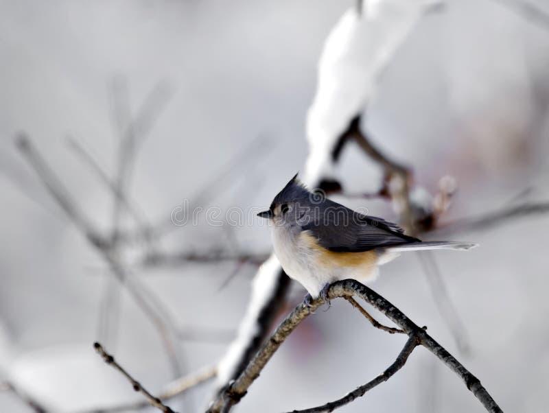 Titmouse con neve fotografia stock libera da diritti