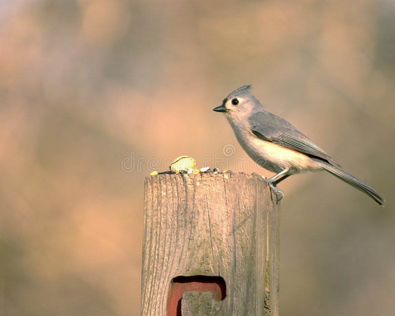 Download Titmouse de Tuffed image stock. Image du forêts, perched - 726137