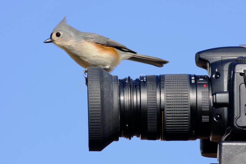 Titmouse en una cámara imagen de archivo libre de regalías