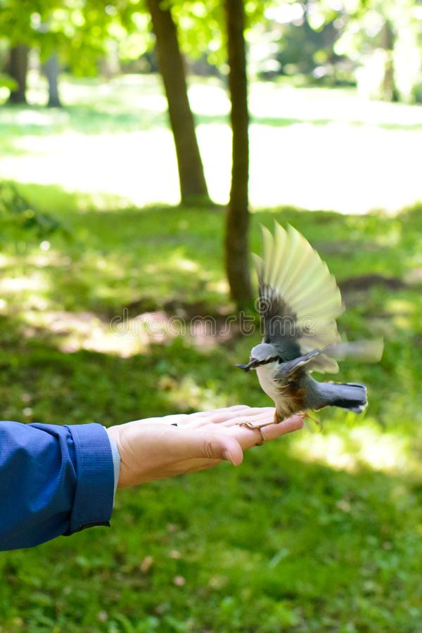Feeding bird on the palm. A titmouse is fed on someone`s palm. The little is attracted by the food. And eats eagerly with wings flapping fastly royalty free stock photo