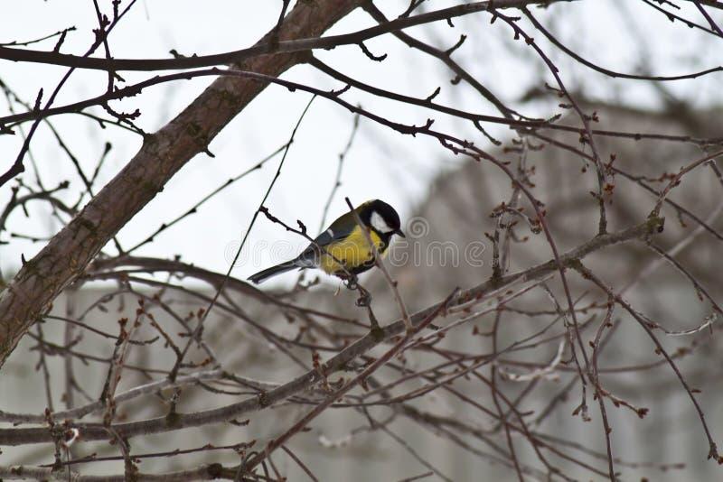 Download Titmouse ordinary stock photo. Image of wildlife, tree - 23570940