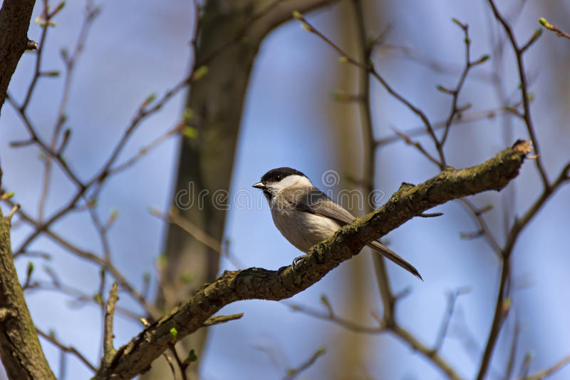 Titmouse, Parus montanus. royalty free stock photos