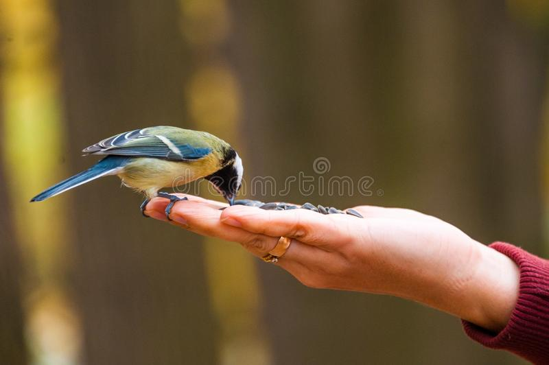 The titmouse sitting and eating on girl`s hand, birds and animals in wildlife, closeup perspective of a colorful cute bird royalty free stock photos