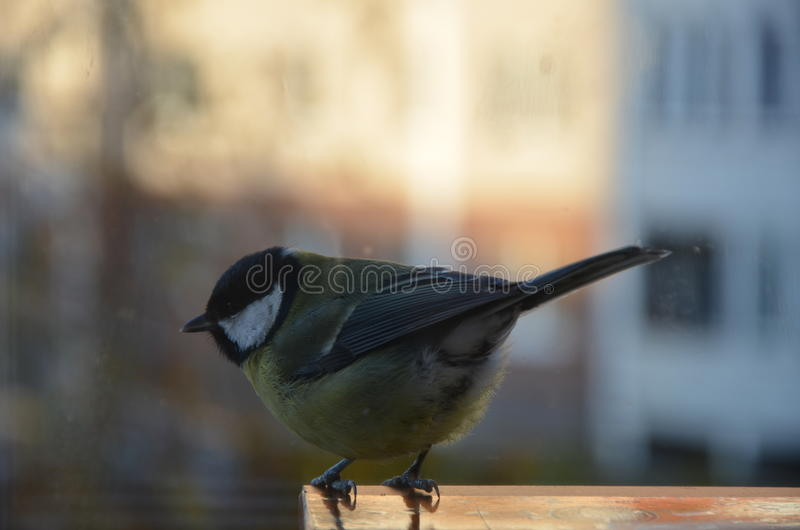Titmouse sitting on the feeder stock photography