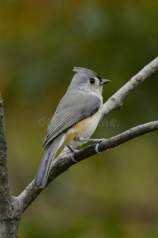 Download Titmouse Stare stock image. Image of wing, feather, nature - 11318659