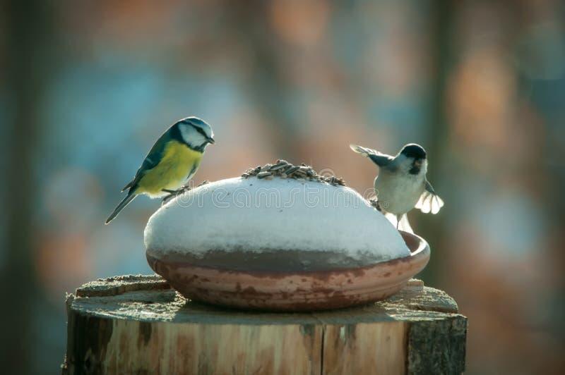 Titmouse whit sparrov na gałąź w wróblu i śniegu zdjęcie royalty free