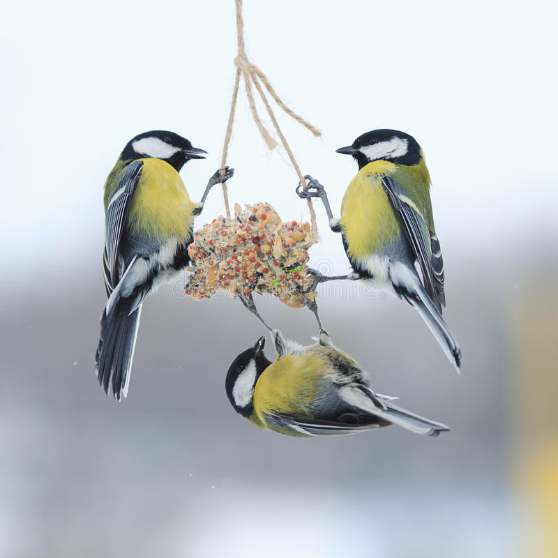 Tits in the winter to fly and sit on the feeder. Tits in the Park in the winter to fly and sit on the feeder stock image