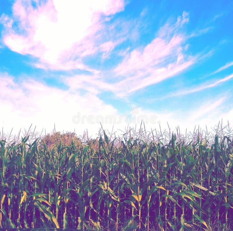 Titta på Creamed Corn, innan nedgången börjar i Illinois royaltyfri bild