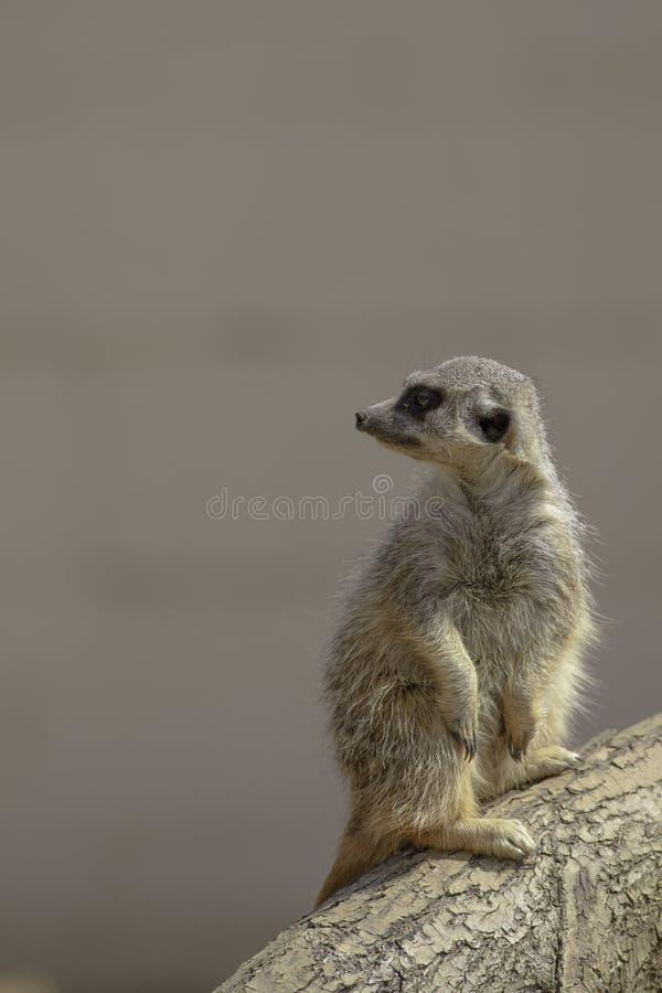 Tjänstgörande Meerkat. arkivbilder